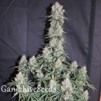 Auto Blueberry feminised Ganja Seeds