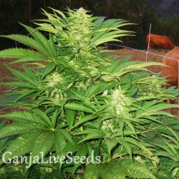 Narkush regular Ganja Seeds