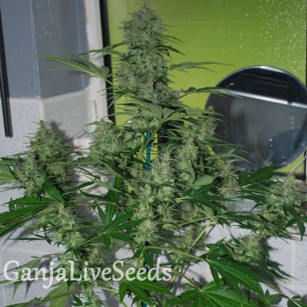 Auto AK47 feminised Neuro Seeds