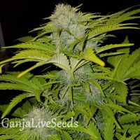 Auto Bubble Gum feminised Ganja Seeds