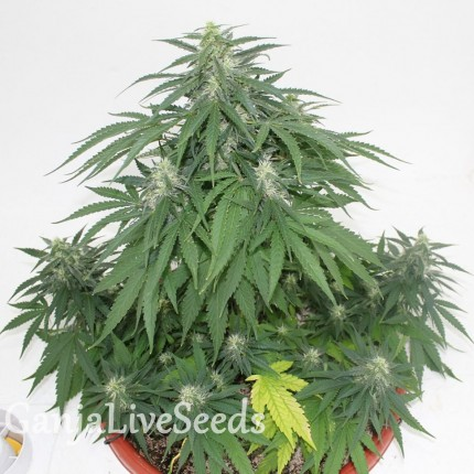 Top Skunk 44 x AK 47 feminised Ganja Seeds