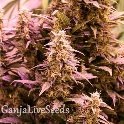 New York Diesel CBD feminised Ganja Seeds