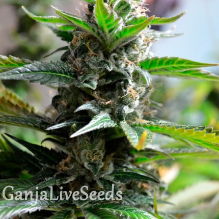 Auto Super Skunk feminised Ganja Seeds