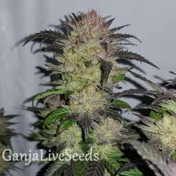 Auto Critical + feminised Ganja Seeds