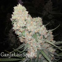 Auto Creative Reactor feminised Neuro Seeds