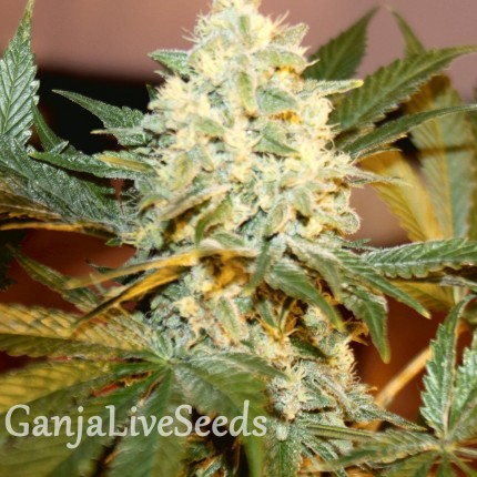 White Rhino feminised Ganja Seeds