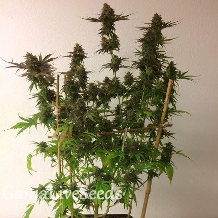 Auto Mass feminised Ganja Seeds