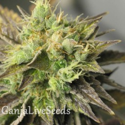 Auto New York Diesel feminised Neuro Seeds