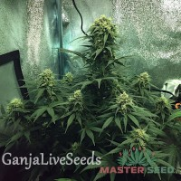 Auto Cheese feminised Master Seed