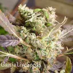 Auto Somango feminised Neuro Seeds
