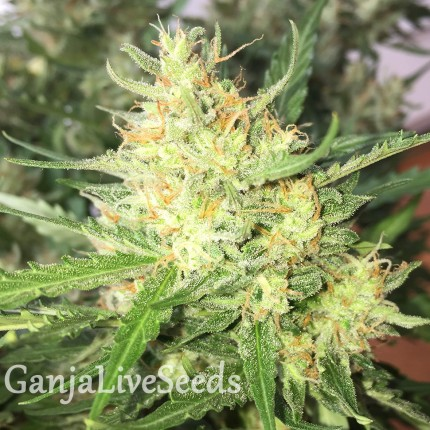 Auto Cheese feminised Ganja Seeds