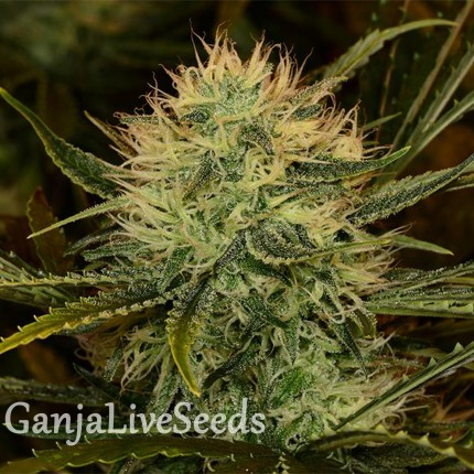 Chupacabra feminised Ganja Seeds
