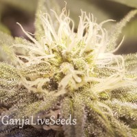 Auto Lemon feminised Ganja Seeds