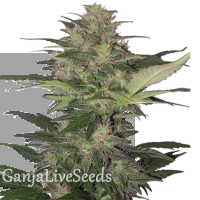 Auto Red Dwarf feminised Ganja Seeds