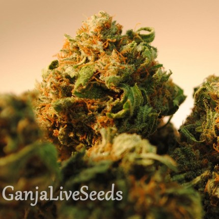 Bubble Yam feminised Ganja Seeds