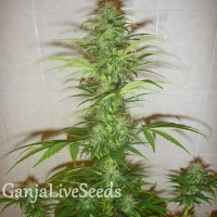 Auto White Widow feminised Neuro Seeds