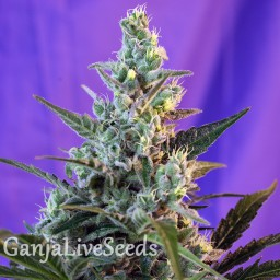 Auto Sweet Skunk feminised GanjaLiveSeeds
