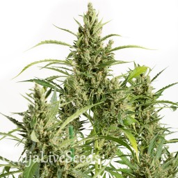 Amnesia feminised Neuro Seeds