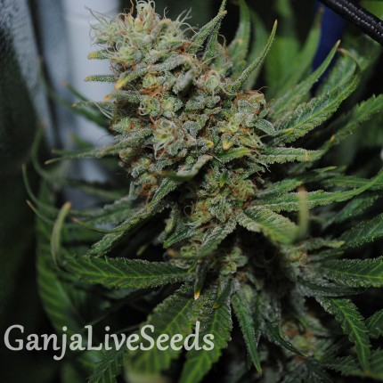 Auto Super Critical feminised Ganja Seeds