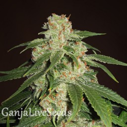 Jack Herer feminised Neuro Seeds