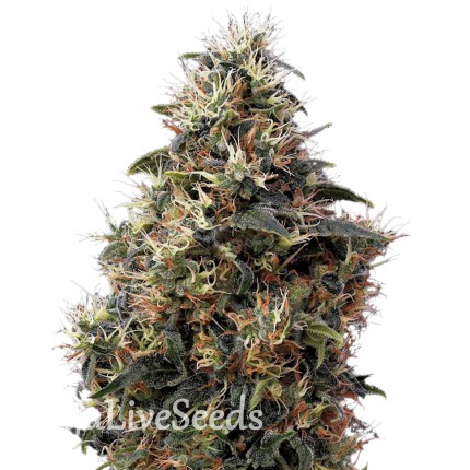 Auto Sweet Mango feminised Ganja Seeds