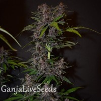 Auto Blackberry Kush feminised GanjaLiveSeeds