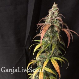 Auto Black Jack feminised GanjaLiveSeeds