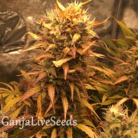 Auto Brooklyn Sunrise feminised GanjaLiveSeeds