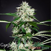 Auto Northern Lights feminised Master Seed