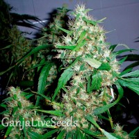 Auto Critical Kush feminised GanjaLiveSeeds