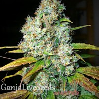 Auto Power Plant feminised Master Seed