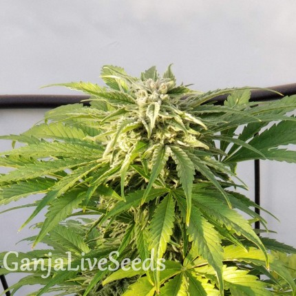 Auto Bubble Gum feminised GanjaLiveSeeds