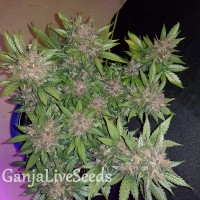 Auto Dark Devil feminised GanjaLiveSeeds