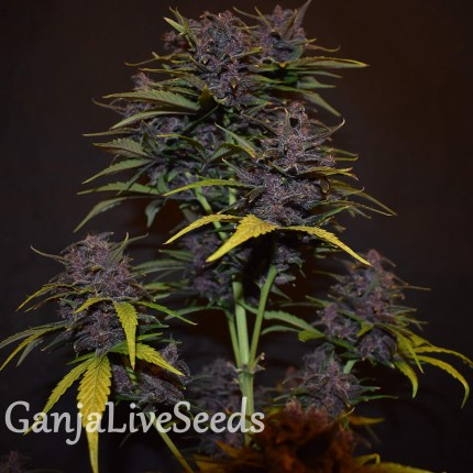 Auto Blackberry Kush feminised Ganja Seeds