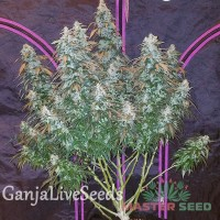 Auto Sour Diesel feminised Master Seed
