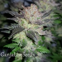 Auto Critical Plus feminised GanjaLiveSeeds