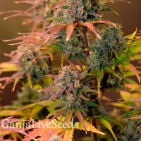 Auto Night Queen feminised Ganja Live Seeds