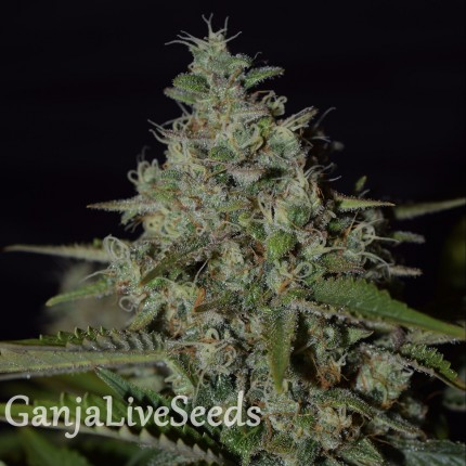 Super Skunk feminised Neuro Seeds