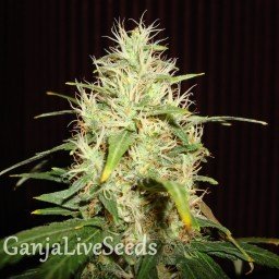 White Russian feminised Neuro Seeds
