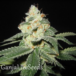 Auto Great White Shark feminised Ganja Live Seeds