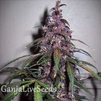 Auto Bloody Skunk feminised GanjaLiveSeeds