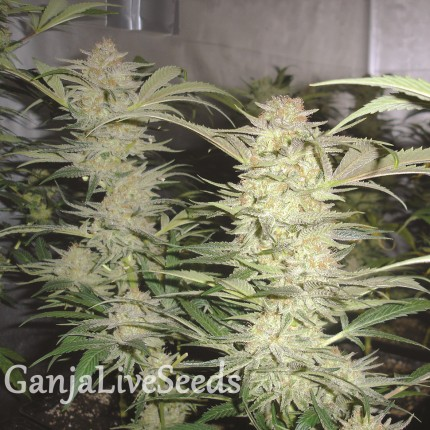 White Widow feminised Neuro Seeds