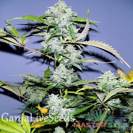 Auto White Russian feminised Master Seed