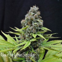 Auto S.A.D. feminised GanjaLiveSeeds