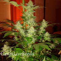 Auto Jack Herer feminised GanjaLiveSeeds