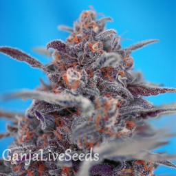 Auto Devil Cream feminised Ganja Seeds