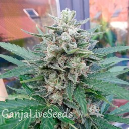 Auto Blue Mazar feminised Ganja Seeds
