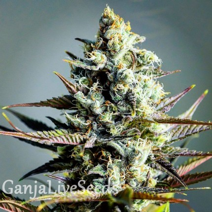 Critical Kush feminised GanjaLiveSeeds