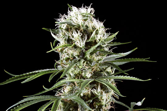 Auto Lemon Haze feminised